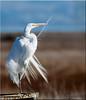 'preening' (d-lilly) Tags: greategret egrets preening lasgallinas2014 longleggedwaders favoritebirdimage