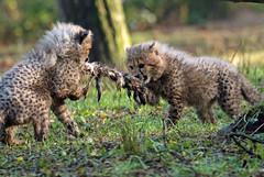 cheetah Burgerszoo JN6A8982 (j.a.kok) Tags: cheetah jachtluipaard acinonyxjubatus acinonyxjubates burgerszoo burgerzoo cat kat mammal zoogdier predator africa afrika