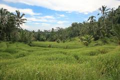 IMG_4391 (FelipeDiazCelery) Tags: indoensia bali arroz camposarroz ricefields workers farmer granjero trabajador granja verde green