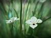 Crazy lens (Petra Ries Images) Tags: refittedlens canon110ed26mmf20 canon110ed bokeh manualfocus adapedlens manuallens swirlybackground swirl blur spots flower green grün