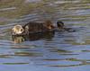 A Perfect Day for Otter Training (grandmasandy+chuck) Tags: otters morrobay motherandpup water sunnyday beforethestorm training nursing