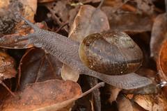 Native terrestrial Shoulderband Snail (Helminthoglypta, Gastropoda) (Treebeard) Tags: terrestrial landsnail shoulderbandsnail helminthoglypta helicoidea gastropoda sanmarcospass santabarbaracounty california