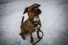 Rescued dog (Nerdgirl1993) Tags: outdoor snow dog chien pug puggle brown beige rescue shelter adoption animal breed montreal quebec