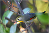 A25Z3535 (jeanbaptistecouetlannes) Tags: oiseaux oiseau nature birds bird béarn paysage pyrénées leiotrhrixjaune rossignoldujapon mockingbirdofjapan ナイチンゲール 黄色の leiotrhrix