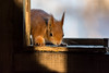 sneaky peek in the hide (ben cairns) Tags: redsquirrel alverstonemeadhide isleofwight nikond5200 nikon55300 endangered cute fluffy red inquisitive squirrel native british britain shade shadow light sunlight