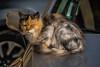 Ophelia (*SanM.*) Tags: cats chats katzen gatto portrait tier animal