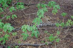 Leopard (brainstorm1984) Tags: pantherapardus moremiwildreservat safari moremigamereserve desertdeltasafaris botswana wildlife pantheraparduspardus wildfelinephotography campmoremi okavangodelta leopard big5 bigfive northwestdistrict botsuana bw
