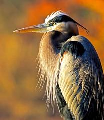 Great Blue Heron Portrait (dianne_stankiewicz) Tags: great blue heron north carolina
