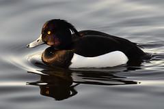 Kuifeend (Triplewhip) Tags: kuifeend tufted duck bird aythya fuligula leuven kessello provinciedomein sunny