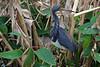 Tricolor Heron  (Louisiana Heron) (Wonder Woman !) Tags: tricolorheron heron circlebbarreserve lakeland florida centralflorida swamp birds louisianaheron hydranassatricolor