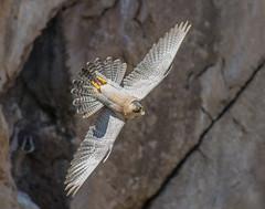 Peregrine Falcon (Falco peregrinus Brookei (Sharpe, 1873)) * For Sale (Cyprus Bird Watching Tours - BIRD is the WORD) Tags: cyprusbirds cyprusbirding cyprusbirdwatching cyprusbirdingtours cyprusbirdwatchingtours cyprusguidedtours birdmigration europeanbirds ecotours cyprusecotours cyprussafari safari action actionphotography peregrinefalcon paphos falcoperegrinusbrookei highquality cyprus birding birdwatching bird wildlife nature canon nois noimagestabilizer handheld birdingtourscyprus birdwatchingtourscyprus animal outdoor sunny professionalphotography westernpalearctic nationalgeographic bbcearth birdwatch rspb birdlifeinternational twitch art ethicalphotography