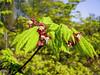 Acer circinatum; Sapindaceae (1) (pflanzenflüsterer) Tags: sapindaceae aceraceae härlen kanada usa wald weinblattahorn baum strauch herbstfärbung laubwerfend rot weis white 5petals rainforest acer acercircinatum