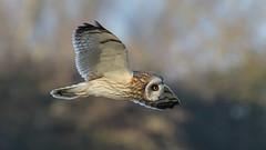 Short-eared Owl (image 1 of 2) (Full Moon Images) Tags: wildlife nature east anglia cambridgeshire fens flight flying shorteared owl short eared bird prey birdofprey