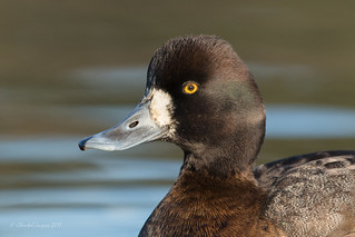 Portrait of a Lesser Scaup