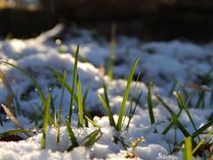 In a hidden corner / In einer versteckten Ecke (Caledoniafan (Astrid)) Tags: caledoniafan gras grass snow schnee winter sun sunlight sunshine sonne sonnenschein sonnenlicht wiese nikon nikoncoolpixl820 nikoncoolpix