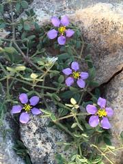 Mountain Flowers (markshephard800) Tags: sunlight lanzarote alpine rocks plants canarias canaries mountain purple fiori flores bloemen blumen fleurs flowers