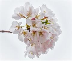 Cherry Blossoms RI 2016 (vern Ri) Tags: blossoms blumen flowers blooms fleur fiori nikon cherry spring ri rooseveltisland newyork pink pale