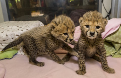 Cheetah Cubs Sisters Being Raised By Caring Keepers (San Diego Zoo Global) Tags: sandiegozooglobal©2016 animals nature baby cheetahs cats conservation cute sandiegozoo
