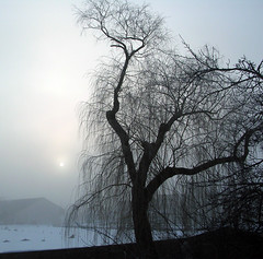 Foggy Willow Sunrise (O Caritas) Tags: morning tree silhouette fog sunrise foggy willow willowtree frommybalcony