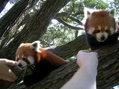 Feed the Firefoxes (Glutnix) Tags: zoo wellington wellingtonzoo redpandas firefox animal feeding cute cuddly redpanda
