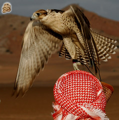 _MG_5594.jpgupr copy (~~GHRSHOOB~~) Tags: united arab emirates falconry falconer falcon hunting uae unitedarabemirates