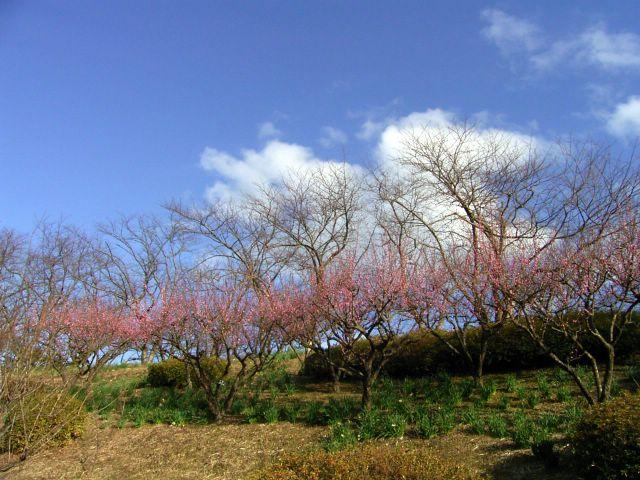 Blue sky,Red plum.