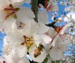 Spring has Sprung (jurvetson) Tags: bee fruit tree blossom flower pollen topf25 interestingness 500plus top20flower topf50