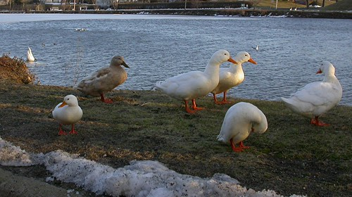 Domestic Geese