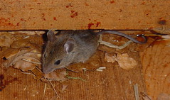 Field Mouse/ Mulot