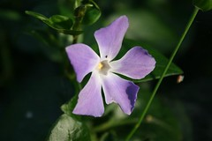 periwinkle purple flower macro