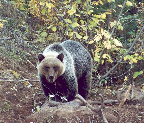 Lardeau River Grizzly 2003 (Photo by tuchodi)