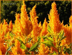 Fire ( Graa Vargas ) Tags: light orange flower nature celosiaargentea cristadegalo interestingness205 graavargas 53002190511 2005graavargasallrightsreserved