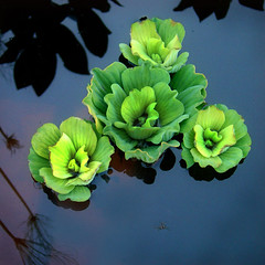 Peaceful (eyecatcher) Tags: plant reflection nature water wow pond calm serenity urbannature gtaggroup goddaym1 artlibre