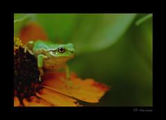 frogfrogfrog#2 (rika...) Tags: frog nature macro green flower