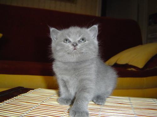 cute british shorthair kitten cat pic