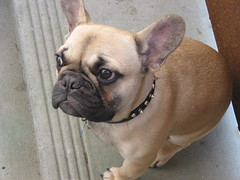 french bulldog by dennis, on Flickr