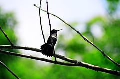 i'll wait ( Tatiana Cardeal) Tags: from brazil film nature brasil garden heart natureza story short tatianacardeal brsil humminbird eos100 spiritualsguides