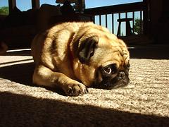 sophie (j.warmack) Tags: pug dog pets pet dogs pugs sophie paw