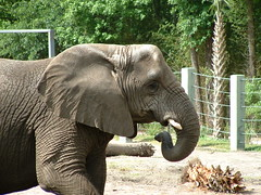 The Jacksonville Zoo Series (tygress_janie) Tags: elephant animal animals zoo elephants animale tier zoos zooanimals zooanimal jacksonvilefloridazoo animalsset