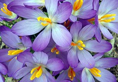 purple crocus (mimbrava) Tags: flower macro topf25 topv111 closeup topv2222 1 interesting topf50 topv555 topv333 topf75 bravo searchthebest topv1111 topv999 interestingness1 mimbrava 500plus20 topv777 viuolarousa brava excellence purplecrocus cby magicdonkey setawardwinners setkudos setmyfavorites setflickrfavorites setflowersset1 setinmacromode setmy20topfavedphotos set64intop5001