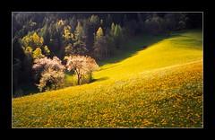 Spring 1 (Walter Quirtmair) Tags: tyrol spring swq konicazup135 2003 stubaital meadow tree austria takenbywalter 4spring