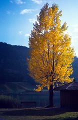Autumn Tree (Walter Quirtmair) Tags: autumn carinthia tree swq konicazup135 austria takenbywalter 2003 october yellow lake weissensee