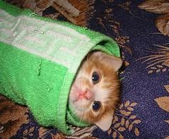 View kitten burrito on Flickr