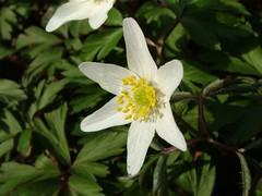 Anemone (Briareos1970) Tags: blumen flowers anemone windrschen fujifinepixs7000 briareos70