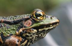 Frog (RoosjeVanDoorn) Tags: animal ilovenature top20animalpix backyard savedbythedeletemegroup frog ellenvangeel