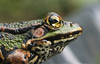 Frog (RoosjeVanDoorn) Tags: animal ilovenature top20animalpix backyard savedbythedeletemegroup frog ellenvangeel