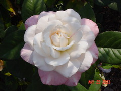 Pink Rose (Saveena (AKA LHDugger)) Tags: park pink vacation white plant nature rose garden flora all outdoor memphis no lisa any h rights form written tennesse myfavorite without usage reserved allowed consent dugger saveena  saveena