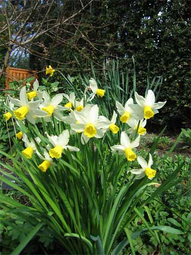 Daffodils xxx