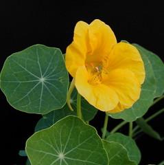 TROPAEOLUM-1yellow (photograph22) Tags: tropaeolum nasturtium yellownasturtium
