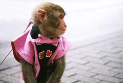 Patient (Lil [Kristen Elsby]) Tags: topf25 animal japan topv2222 mammal monkey tokyo asia dof bokeh profile jacket streetperformer  hibiya anthropomorphic macaque happi eastasia performingmonkey happicoat performinganimal   monkeydressedashuman  clotheswearingmonkey